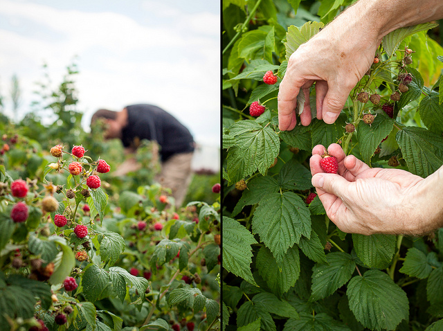 Raspberry Picking, August 2013