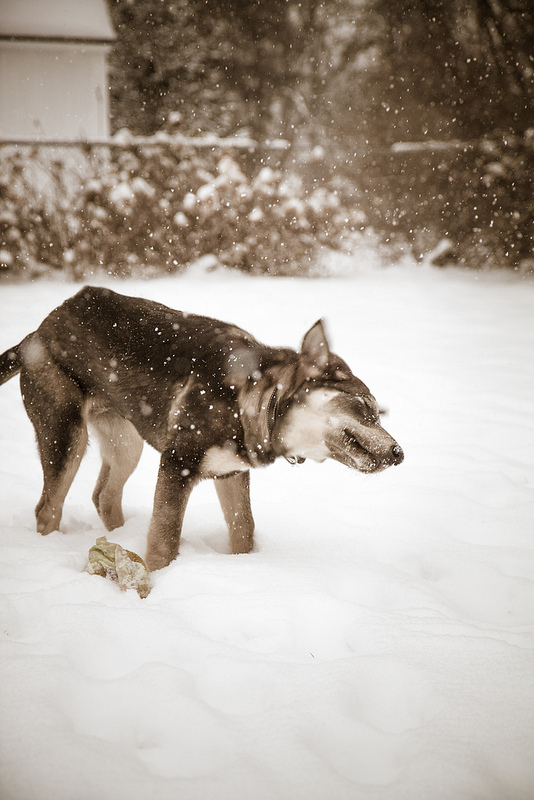 Snow Dog (photo by Willow Arlen)